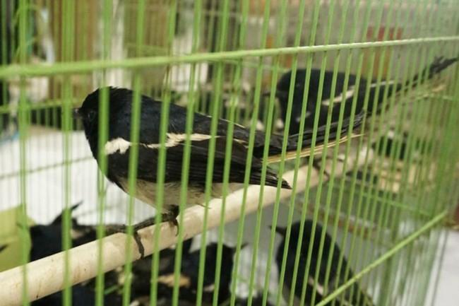 Ratusan Burung Kacer Asal Jambi Digagalkan Petugas Lampung Aksipost Com
